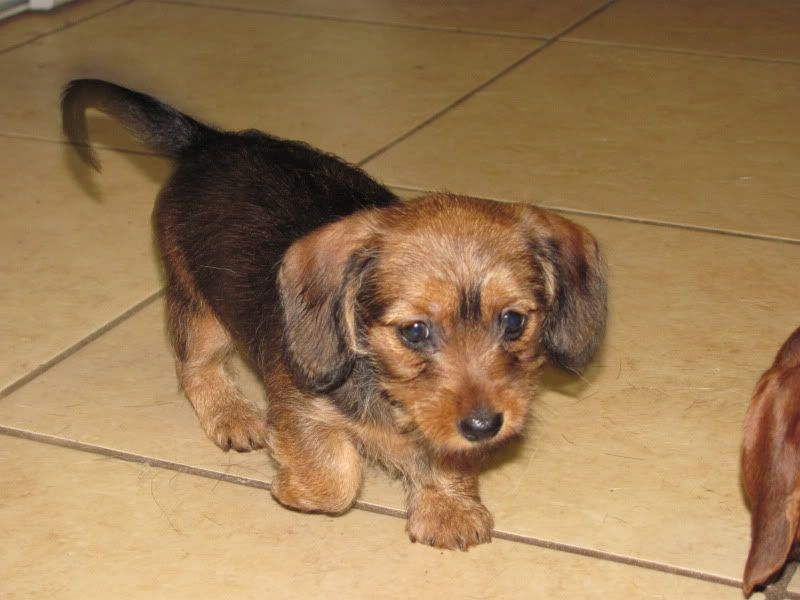 Dachshund yorkie mix puppies for sale