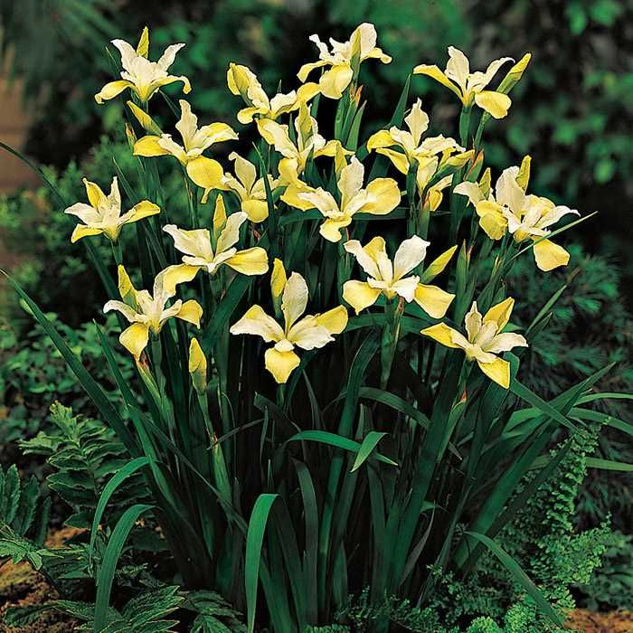 Chartreuse bounty siberian iris also garden plants rh za pinterest