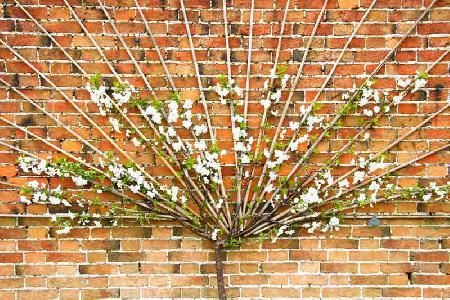 Espalier and fan trained fruit trees p l a n t pinterest fruit trees gardens and pruning - Romanian cherry tree varieties ...