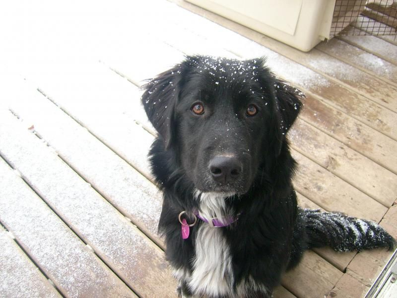 Lab And Pyrenees Mix Google Search Great Pyrenees Dogs