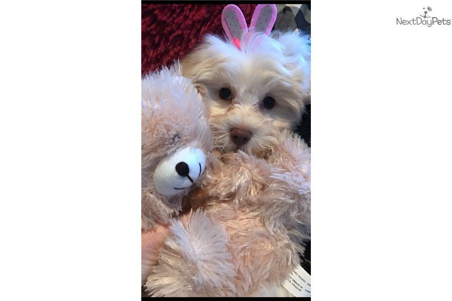 Malti Poo Maltipoo Puppy For Sale Near Dallas X2f Fort Worth