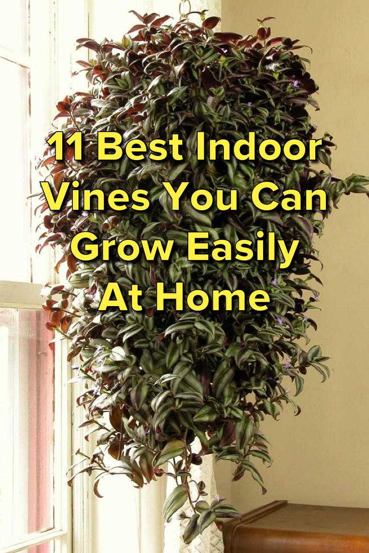 11 Best Indoor Vines And Climbers You Can Grow Easily In Your Home Indoorgarden Indoor Vines Indoor Climbing Plants Plants