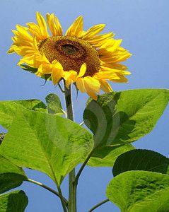 Sunflower Giant Single Bunga Benih Bunga Matahari