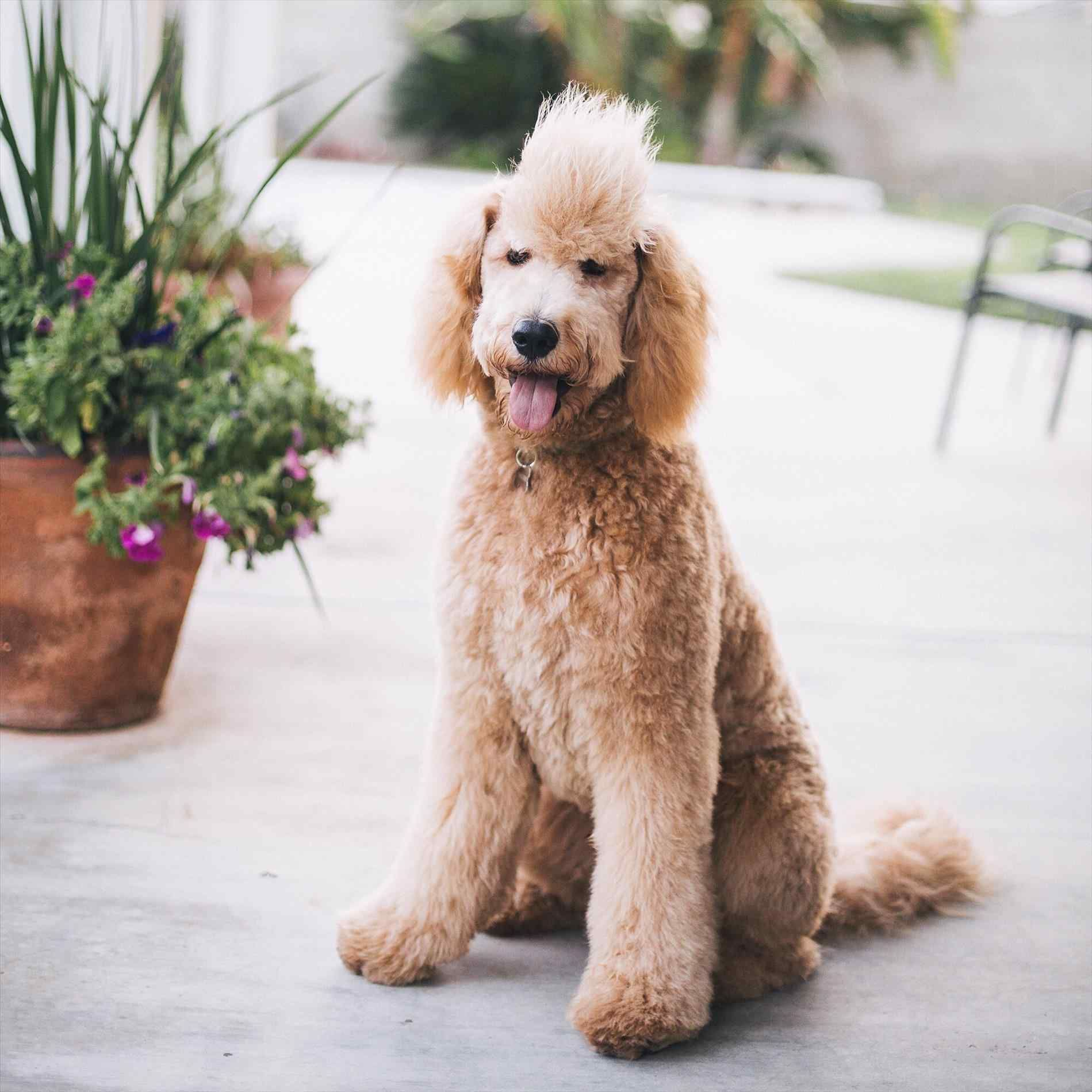 Image result for goldendoodle afro Goldendoodle haircuts