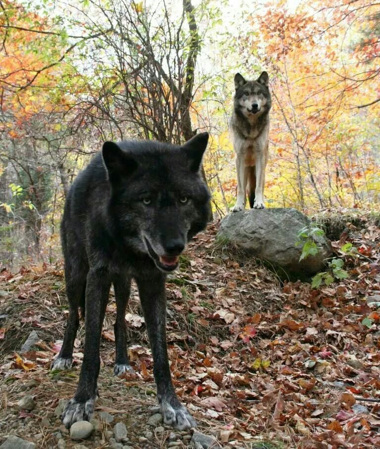 Pin By Mia On Wolves Beautiful Dogs Wolf Dog Wild Dogs