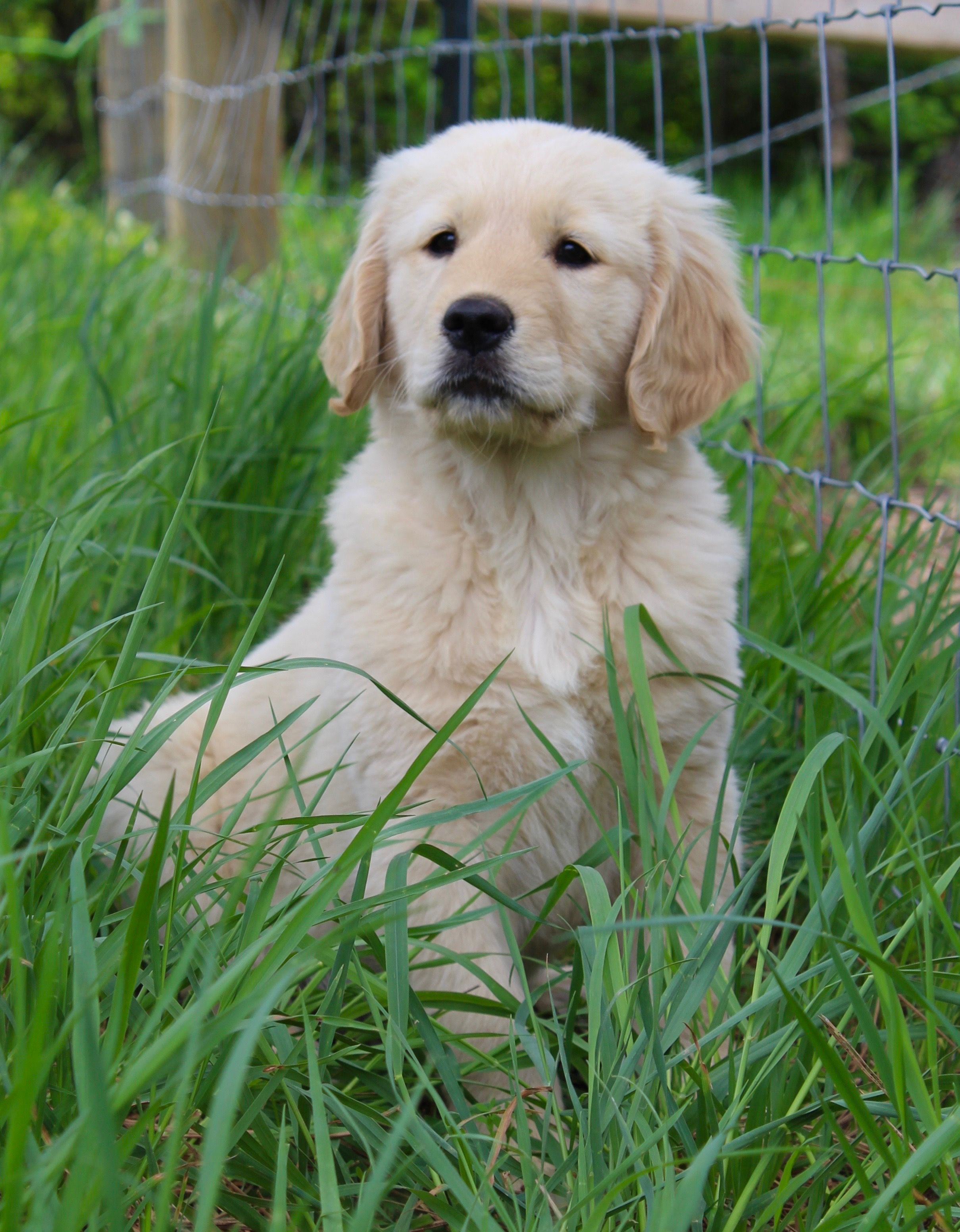 Golden Retriever Golden Dog Cute Dogs Puppies Cute Puppies