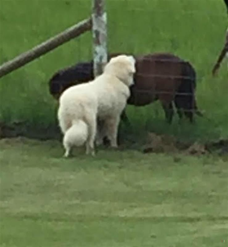 Back home dog great pyrenees st clair twp hamilton