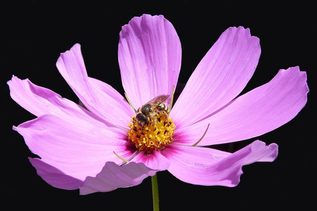 Cosmos Seeds For All Kinds Of Bees Honey Bee Suite Bee On Flower Bee Cosmos