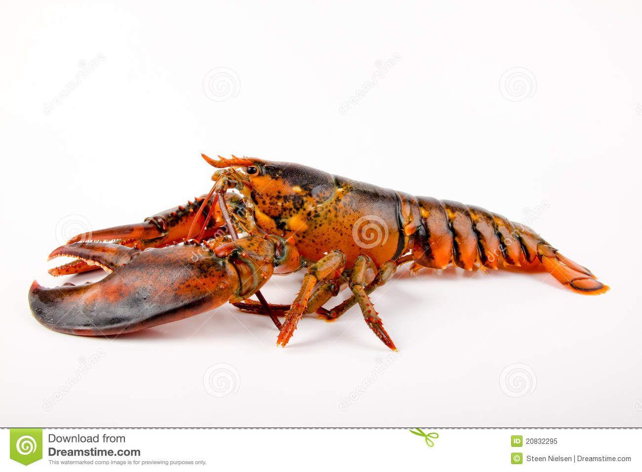 fresh-live-lobster-20832295.jpg (1300×957)   Anatomy: Water ...