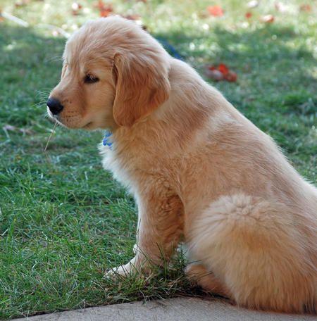 Brody The Golden Retriever Golden Retriever Dog Love Puppies