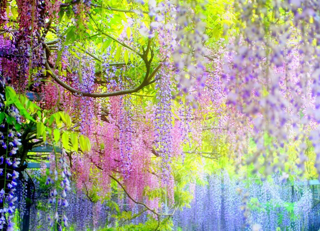 Kawachi fuji wisteria gardens japan do you like Wisteria flower tunnel path in japan