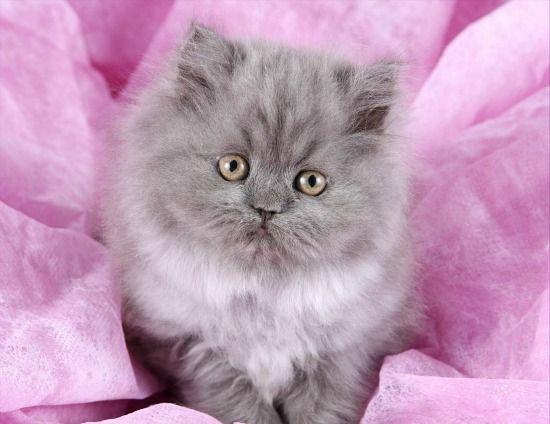 Blue Smoke Teacup Persian Kitten Pretty cats, Cute