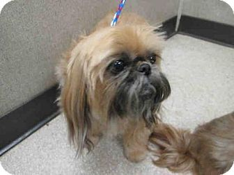Urgent Senior Pekingese Shih Tzu Mix Dog For Adoption In Orange