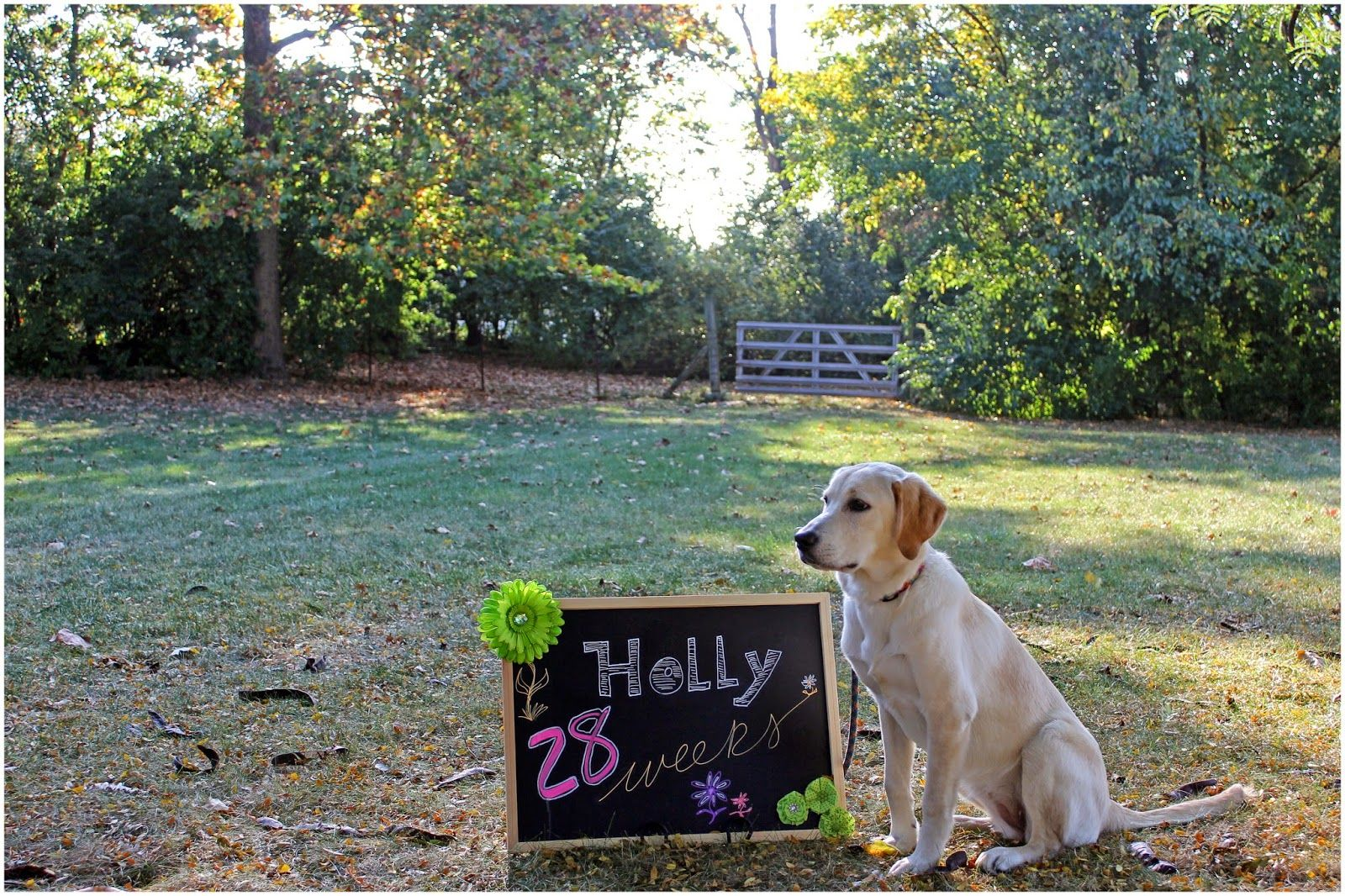 Holly is a Canine Companions for Independence puppy being