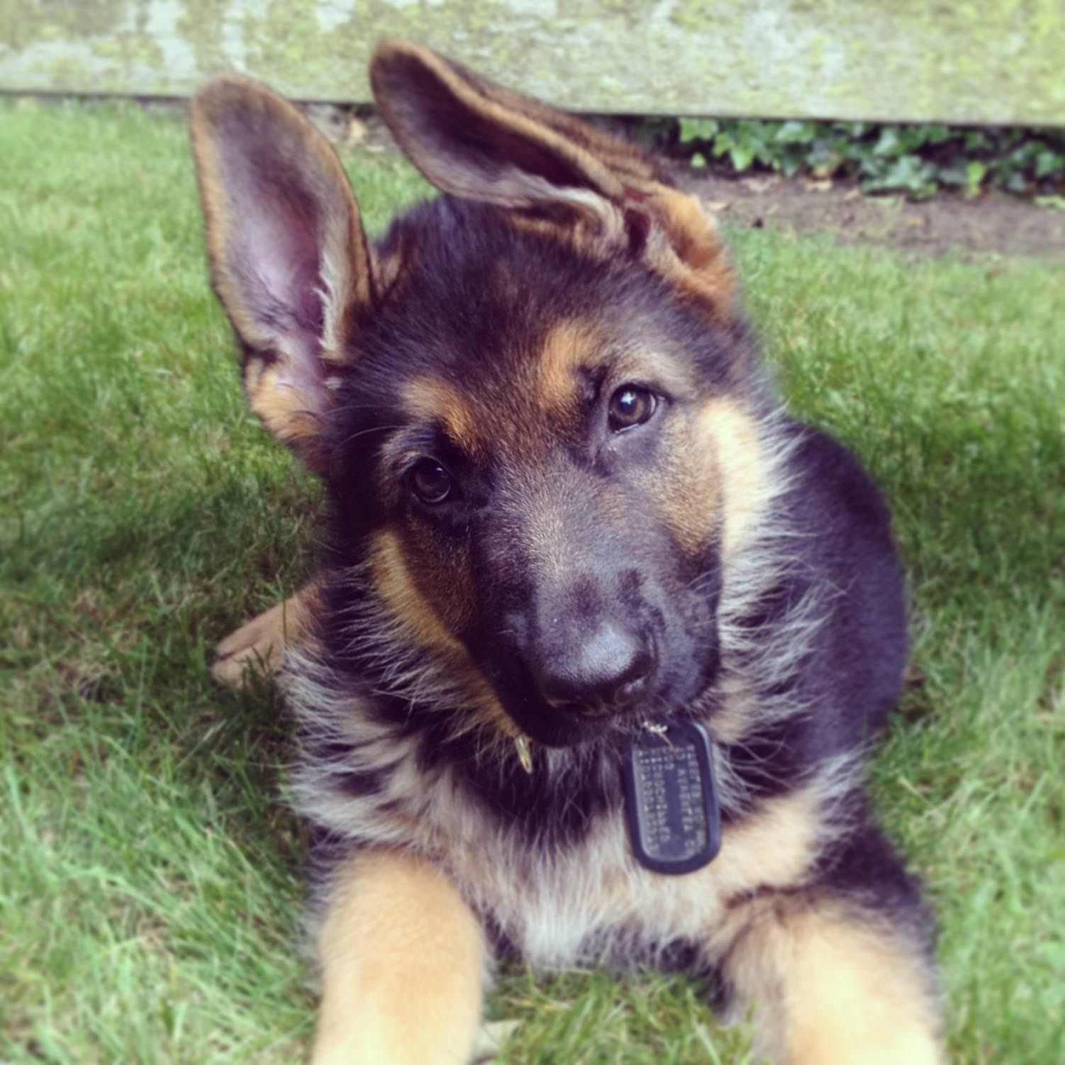 1 year old german shepherd puppy dog breed information