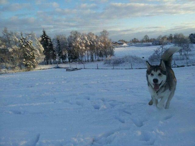 Slædehund