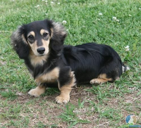 Black And Cream Mini Dachshund Aka Baby Lexie Dachshund Facts