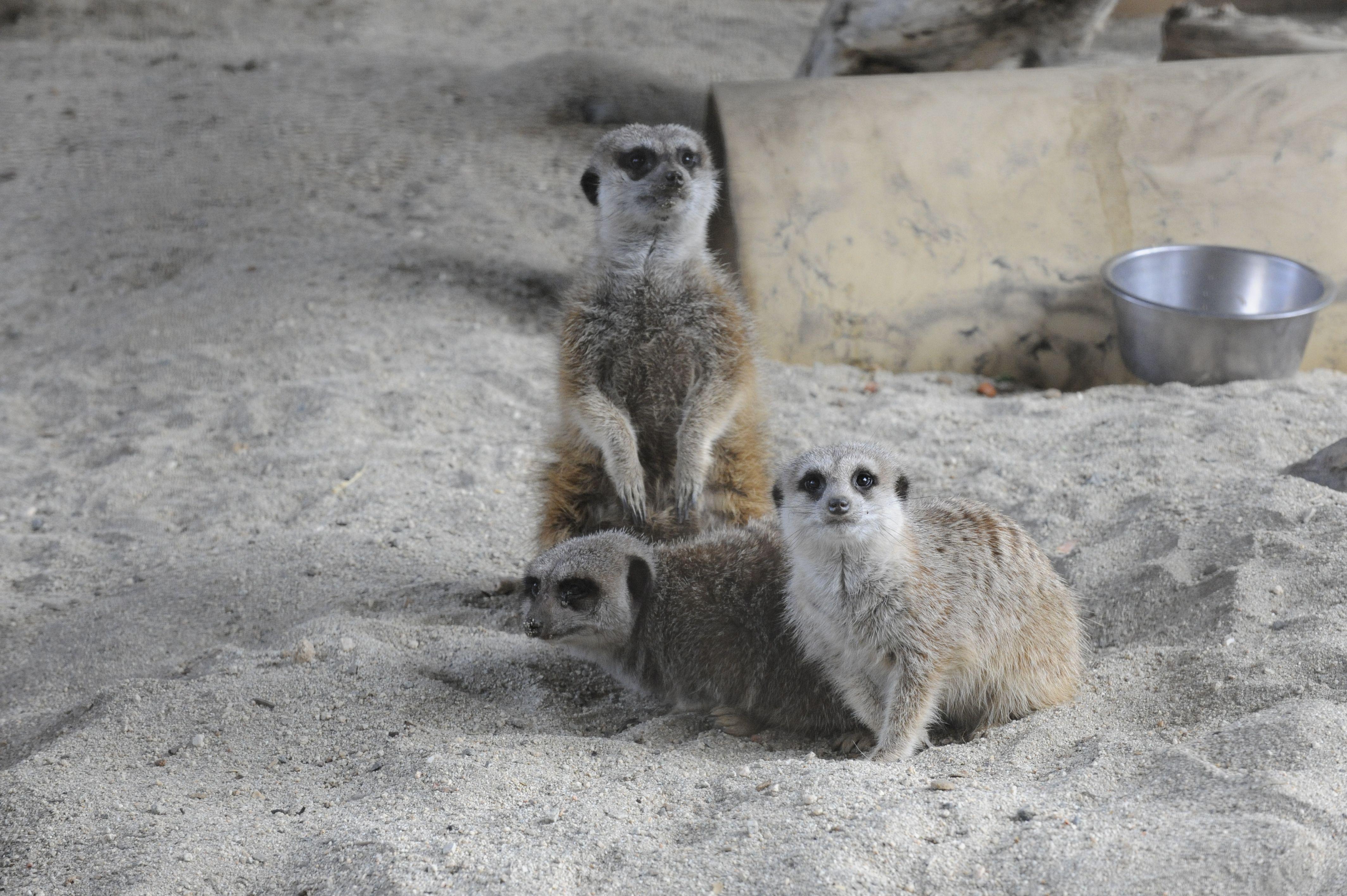 Meerkats at The Living Desert Meerkat, Africa, Zoo