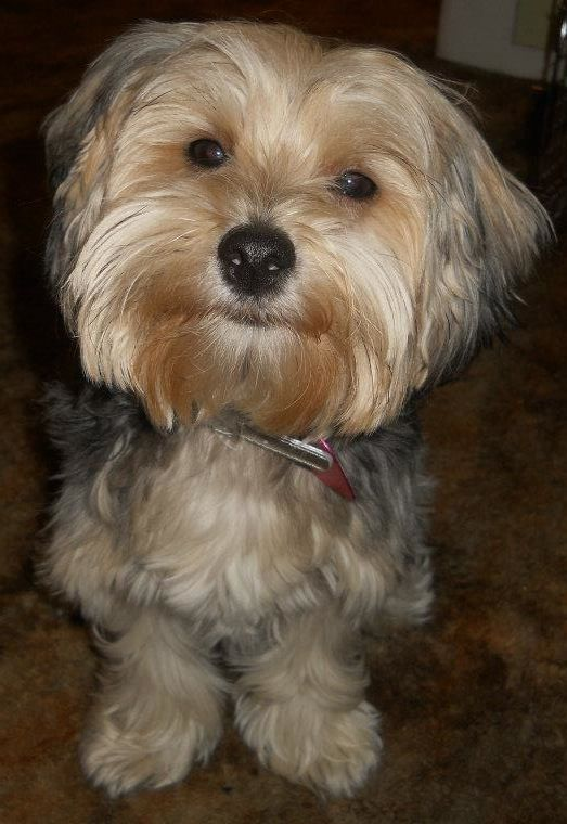 Yorkie Poo Millie May !! Brittni Stofferans Puppy