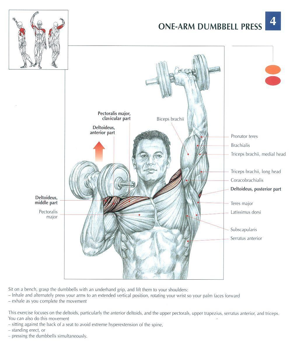 Muscle of the week: Shoulder Exercises | Arms, Exercises and Diagram