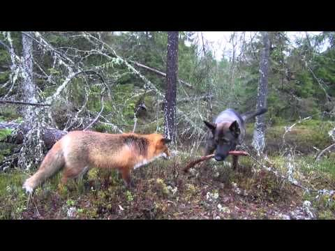 이 조합 무엇...동물들의 특별한 우정 1boon Fox dog, Cute animal quotes