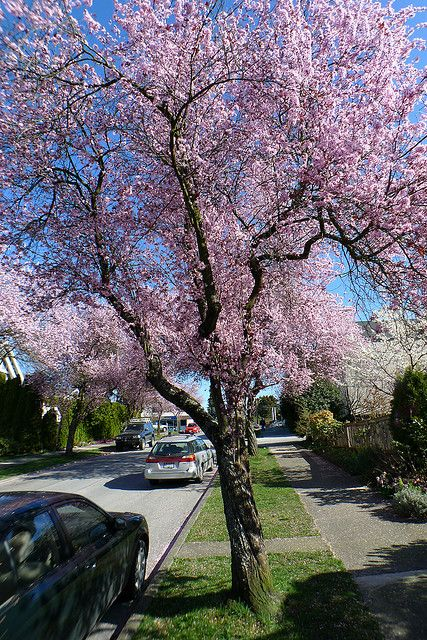 Sakura Vancouver Street Trees Vancouver Hanami