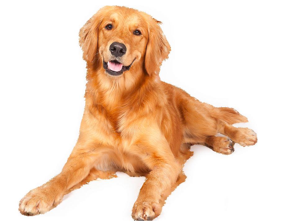 """"""" Beautiful. """" Pedigree dog, Golden retriever, Retriever"""