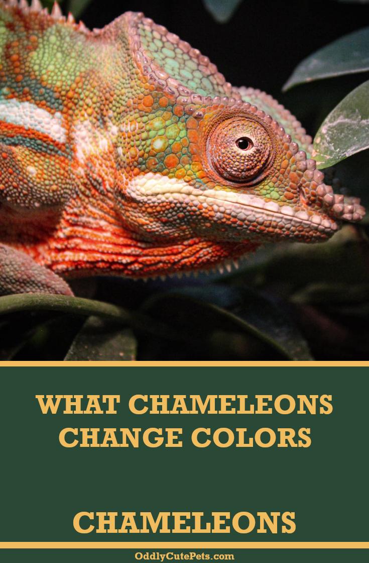 What Chameleons Change Color Color Change Chameleon Color