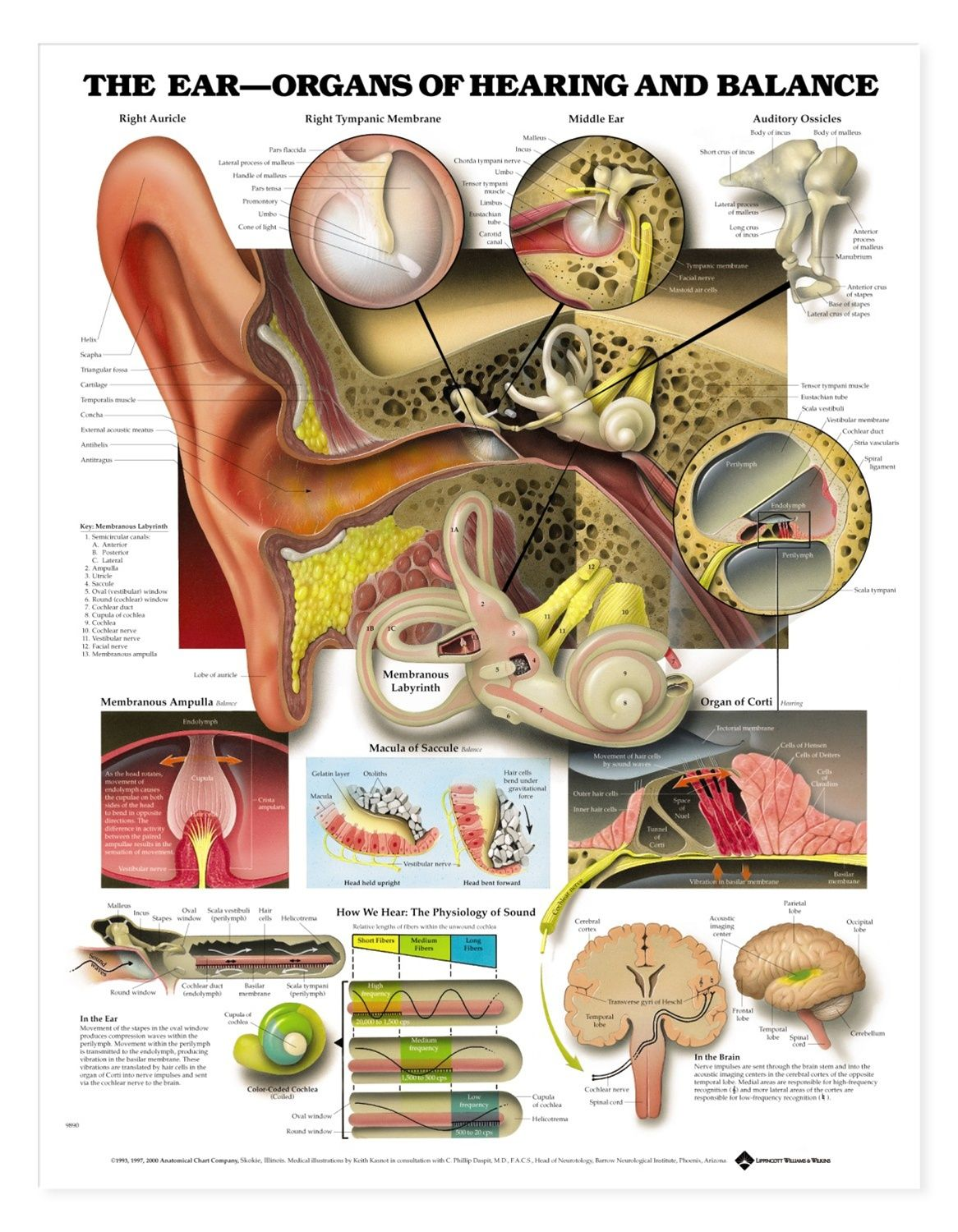 ear diagram labeled is an anatomy picture reference. we always