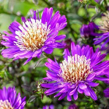 Tiny Toy Aster Chrysanthemum Seeds Sun Perennials Flowers Perennials