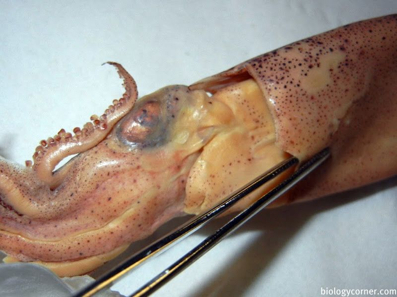 squid dissection guide and more squid anatomy links | ocean animals ...