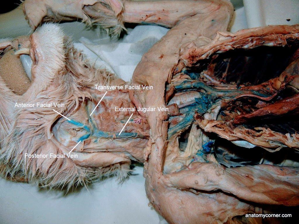 Major Arteries and Veins of the Cat | Anatomy Corner | A&P ...