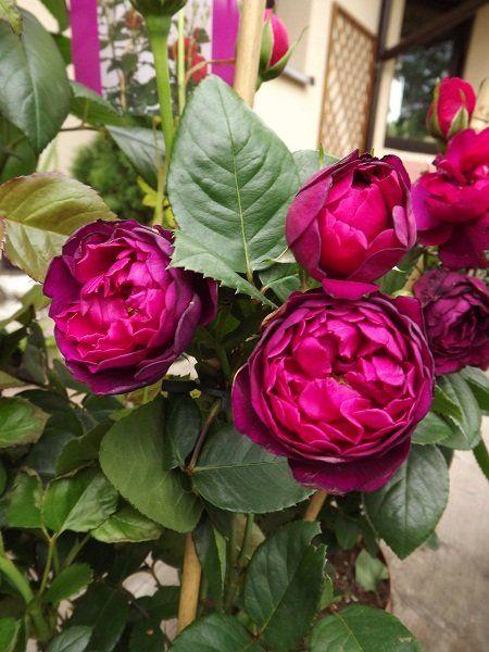 Bardzo Piekny Mieszaniec Herbatni Powtarzajacy Kwitnienie Czesto Zaliczana Jest Tez Do Grupy Roz Parkowych Odmiana Zdobywa Wielu Wielbic Flora Garden Friendly