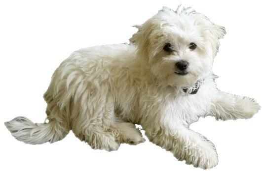 maltese dog clip art cute maltese dog maltese puppies pinterest rh pinterest com maltese clipart maltese puppy clipart