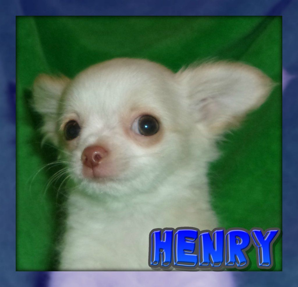 Henry Male Chihuahua Puppy Full Price 600 00 Deposit