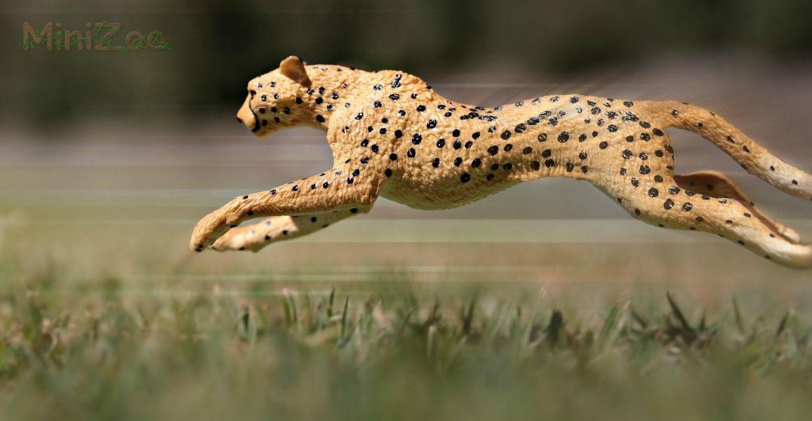 How Fast Can A Cheetah Run Safari Ltd Figurine Running Photo By Minizoo