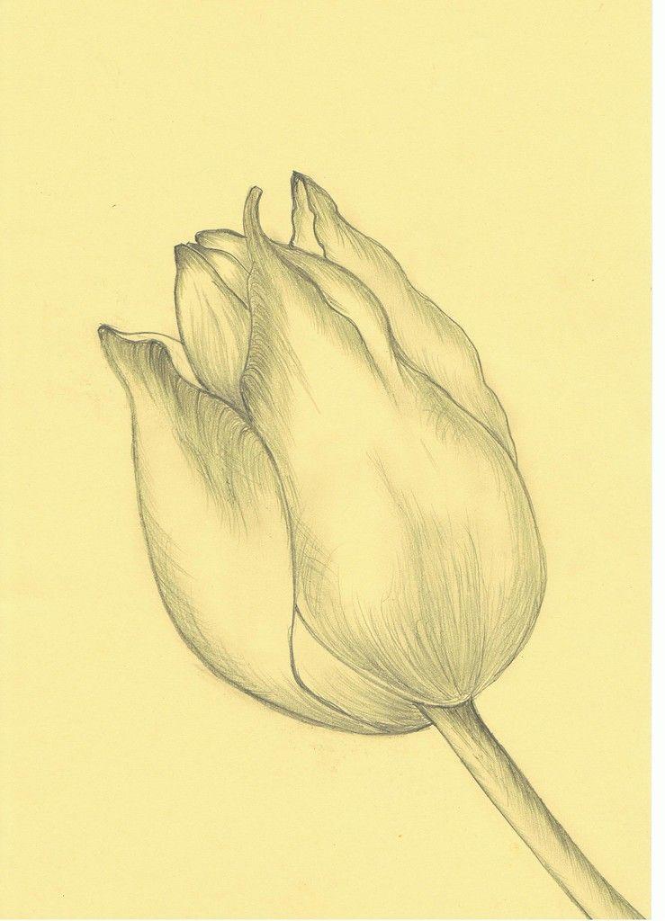 tulpe einfach zeichnen