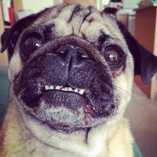 Pug Showing Off His Nice White Teeth Pugs Pug Love Pug Life