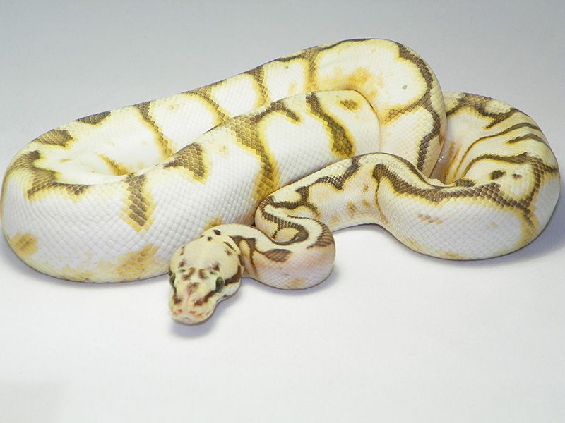 Assez 77 best Ball Pythons images on Pinterest | Reptiles, Snakes and Python MN97