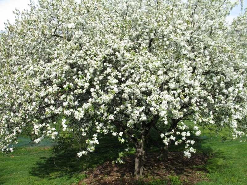 White Angel Crabapple (Malus inglis) - Missouri Botanical Garden ...