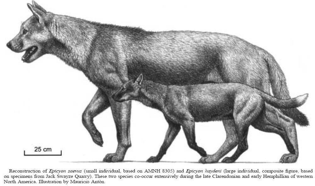 Resultat d'imatges de epicyon Extinct wolves