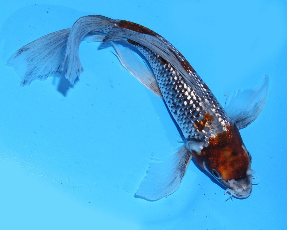 Live koi fish 8 gin rin goshiki butterfly extremely rare for Butterfly koi fish pictures