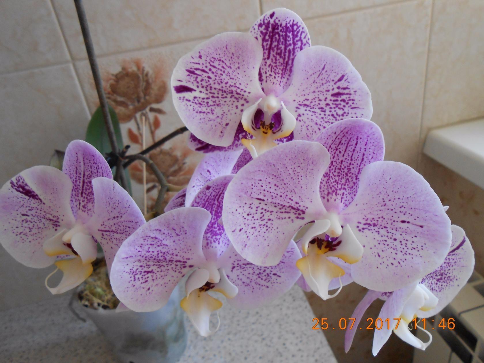 орхидея джулия фото кайли приложила