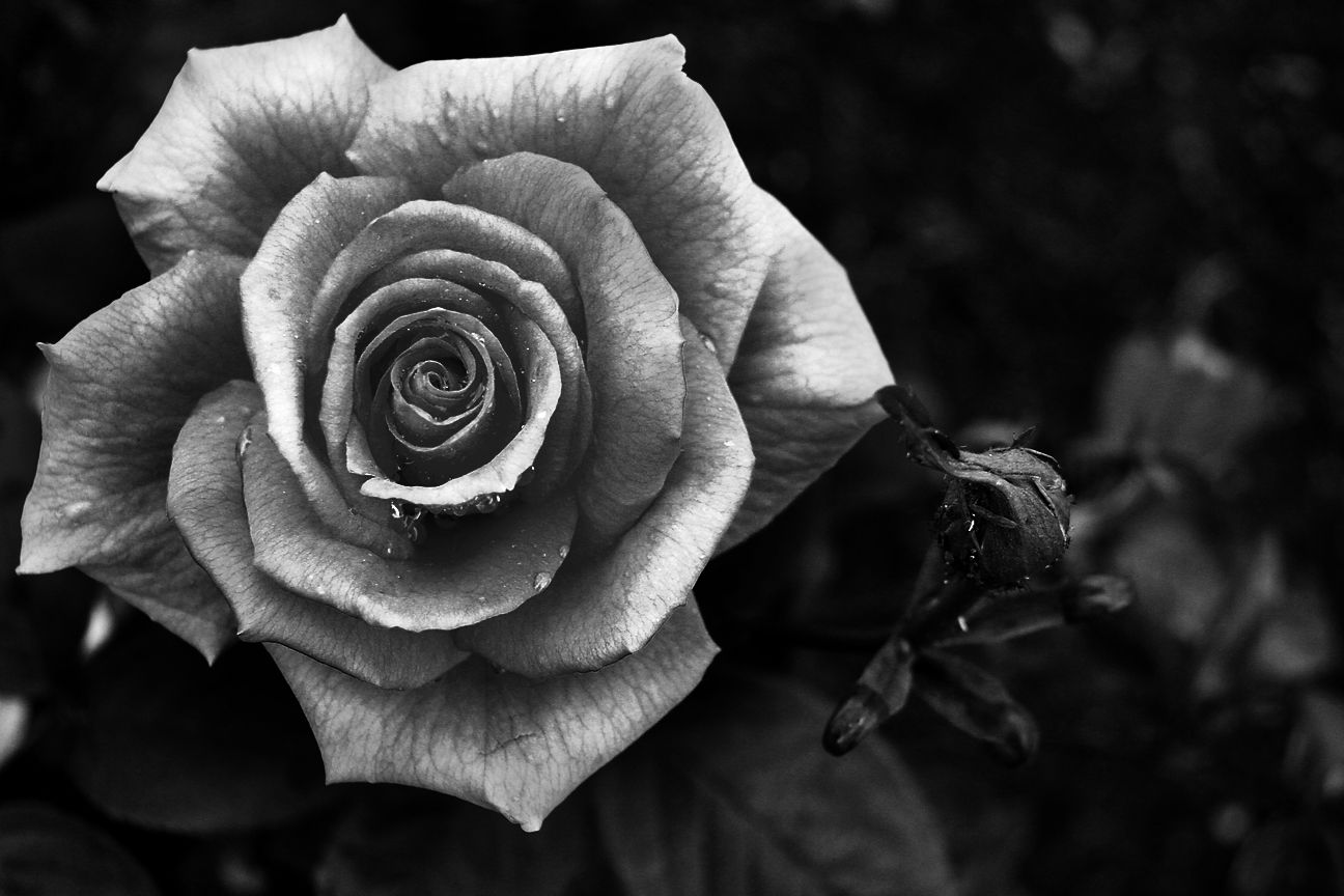 Rose Black And White Photography