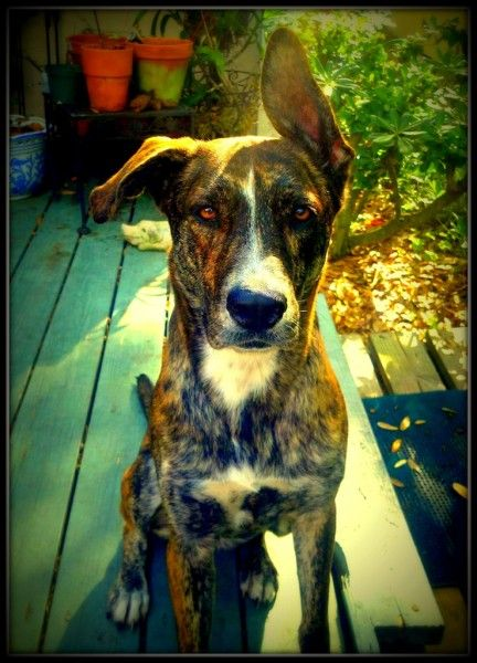 Maizey An American Bulldog German Shepherd Mix With Images