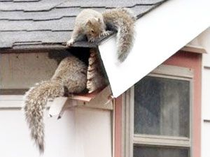How To Get Rid Of Squirrels In The Attic Top Ways To Eradicate The Pests Get Rid Of Squirrels Squirrel Rodent Repellent