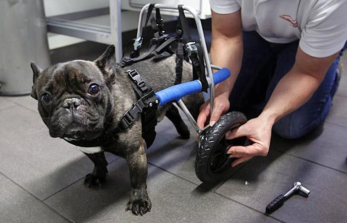 Four Year Old Billy Whose Hind Legs Have Been Paralyzed Since