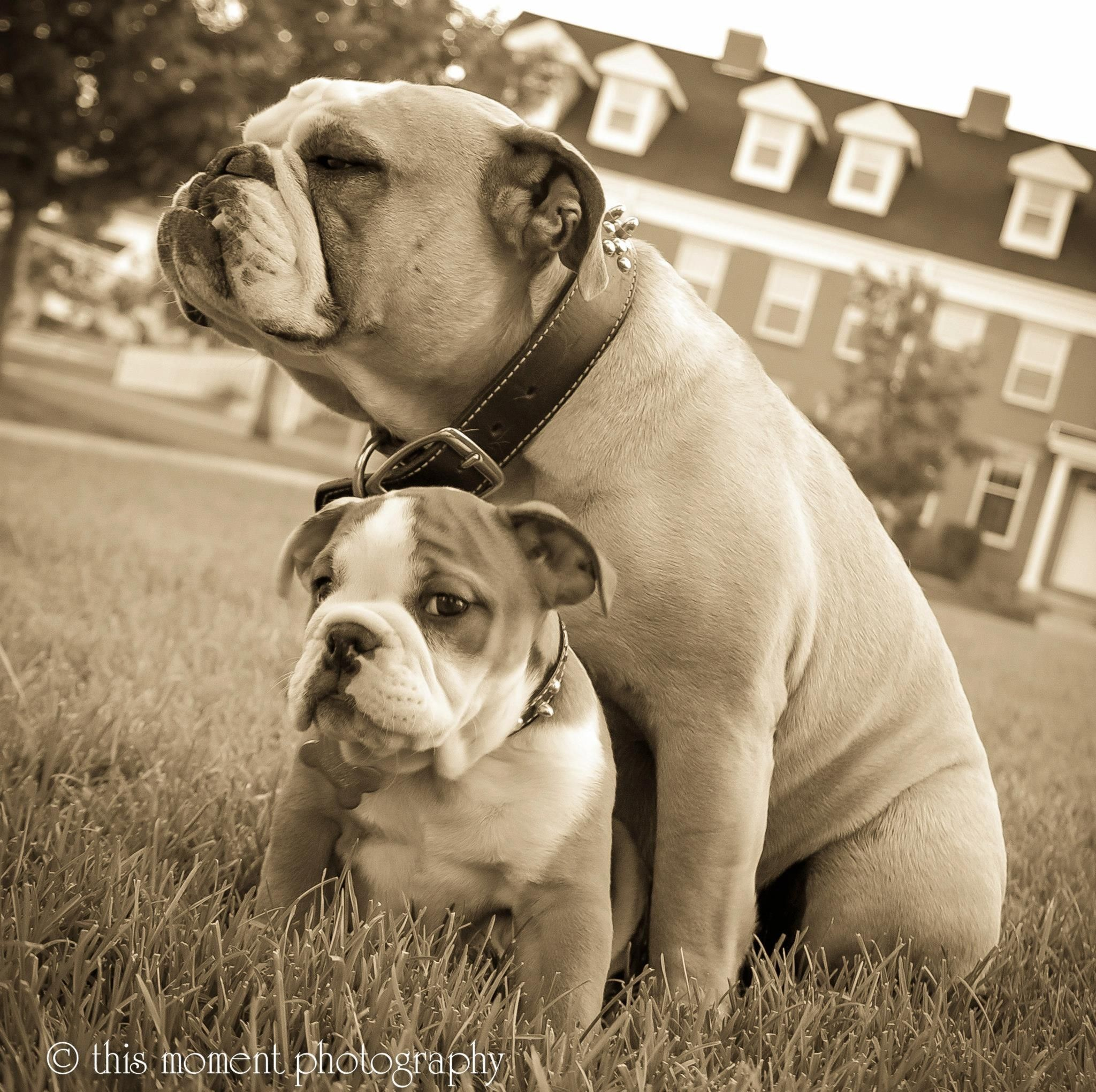 Pin by Lynn Hack Neusen on Our Bulldogs (With images