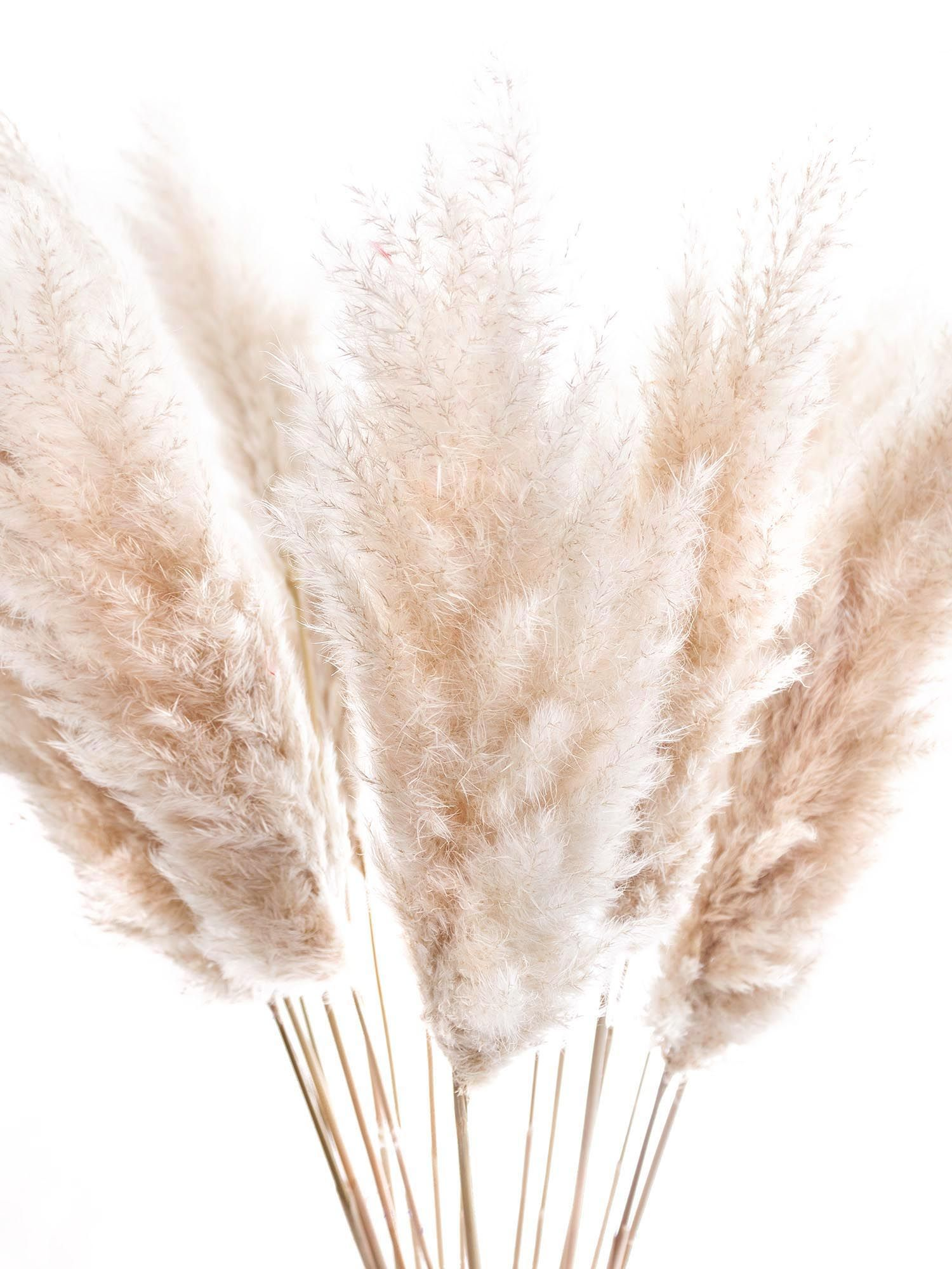Photo of Order pampas grass – dried natural