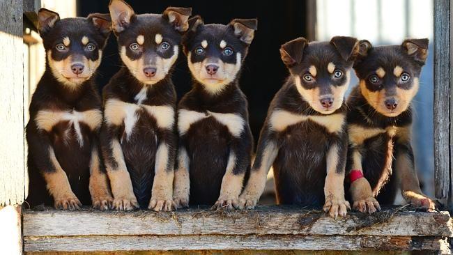Pin By Yumi Ellermeier On Cute Australian Kelpie Dog Cute Animals Aussie Dogs